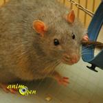 Les rats mâles peuvent-ils transmettre le diabète à leurs filles ?