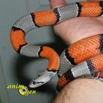 Le serpent roi à bandes grises, ou serpent roi gris (Lampropeltis alterna)