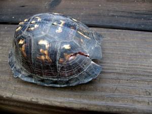 Envisagez la reproduction des tortues de terre dans de bonnes conditions
