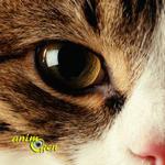 Santé : écoulements des yeux, ou larmoiements, chez les chats (causes, symptômes, traitement)