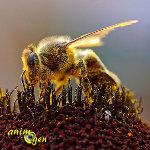 L'abeille et l'éléphant