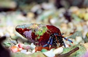 Le Bernard L'Hermite à pattes bleues (Clibanarius tricolor)