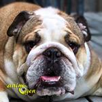 Le Bouledogue anglais, ou English Bulldog, un chien de combat réhabilité