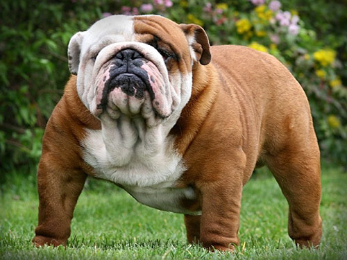 english bulldog for sale no papers