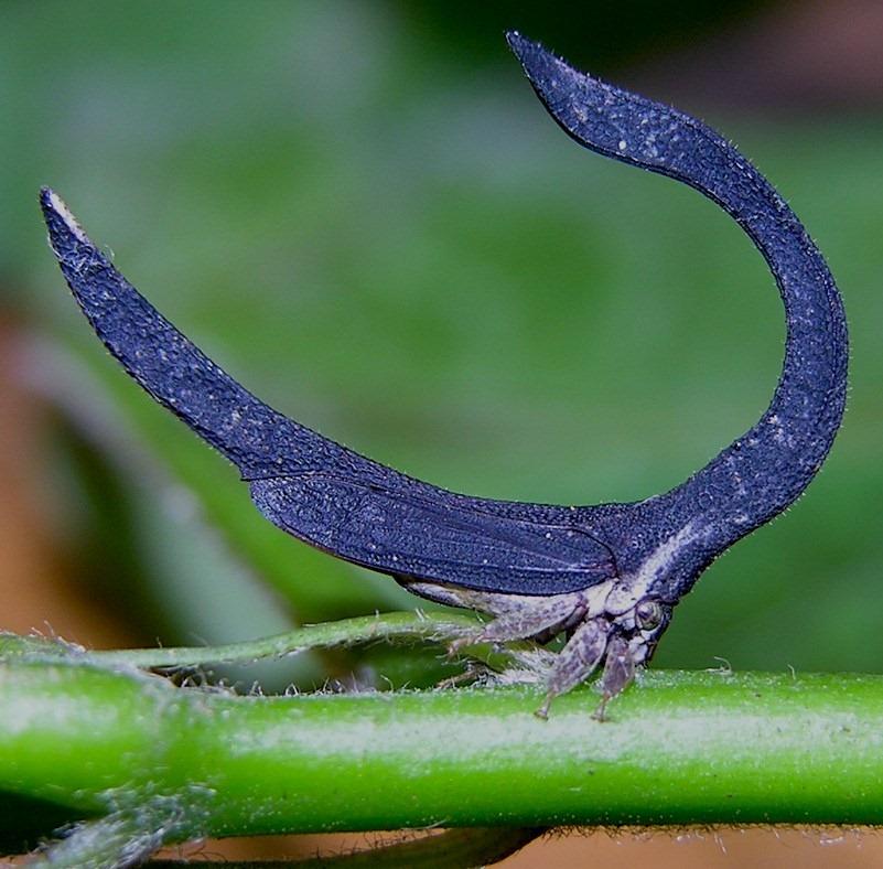 Les Membracidés, trois paires d'ailes pour des insectes insolites