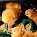 L'alimentation des poussins : quantité, type de nourriture, combien ?