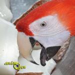 La noix de coco, le fruit de l'arbre de vie au menu de nos perroquets