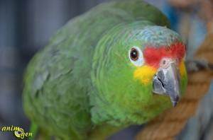 L'Amazone à front rouge, ou Amazona automnalis
