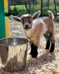 La chèvre naine nigérienne, un animal de compagnie haut en couleurs