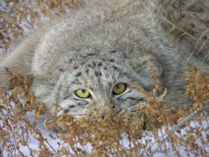 Le chat de Pallas, ou Manul (Octolobus manul)