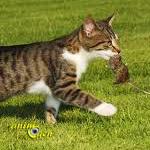Origines et bases du comportement alimentaire des chats
