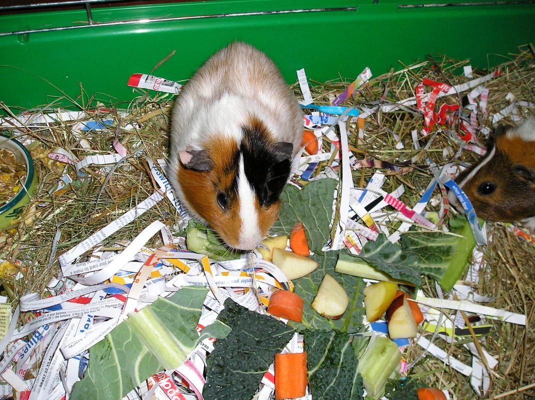 Quels aliments sont toxiques pour nos cochons d'Inde ? (liste)