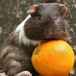 L'apport en vitamine C dans les fruits et légumes destinés à nos cochons d'Inde