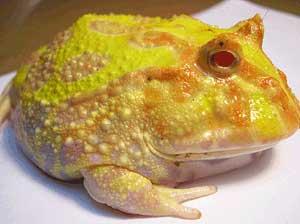 La grenouille cornue (Ceratophrys ornata), ou Pacman