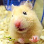 Comment faut-il envisager le comportement d'un hamster doré (ou syrien), en captivité ?