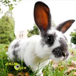 Comportement, que nous disent nos lapins de compagnie avec leurs oreilles ?