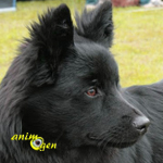Le Lapphund suédois