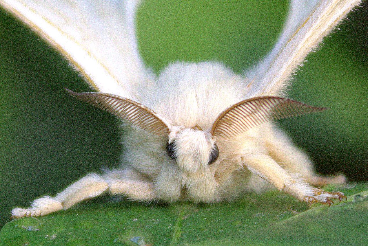 que suis je Martin 1er avril trouvé par Martine - Page 2 Papillons-bombyx-m%C3%BBrier-ver-soie-antennes-facult%C3%A9s-d%C3%A9tecteur-explosifs-fonctionnement-insectes-animal-animaux-compagnie-animogen-6