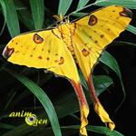 Le papillon comète de Madagascar (Argema mittrei), invité d'un bal éphémère