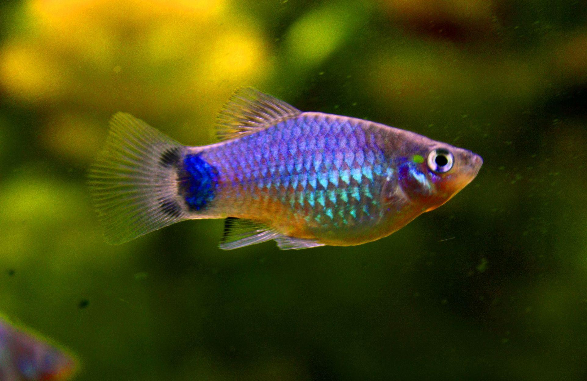 Le platy ou xiphophotus maculatus valeur s re des for Alimentation poisson aquarium