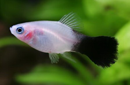 Le platy ou xiphophotus maculatus valeur s re des for Alimentation guppy poisson rouge