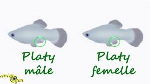 Le Platy, ou Xiphophotus maculatus, valeur sûre des aquariums d'eau douce