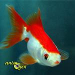 Pourquoi certains poissons rouges (Carassius auratus) deviennent-ils blancs ?