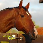 Le cheval, animal de rente ou de compagnie ?