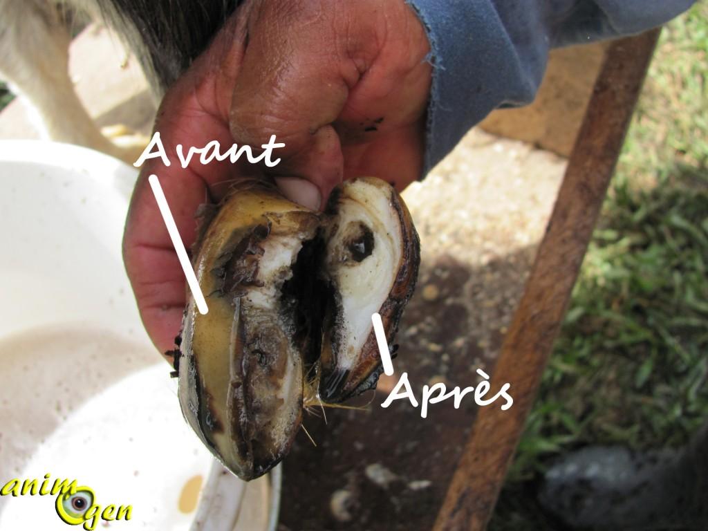 Comment tailler les sabots onglons d une ch vre mat riel m thode pr cautions animogen - Taille des hortensias en mars ...