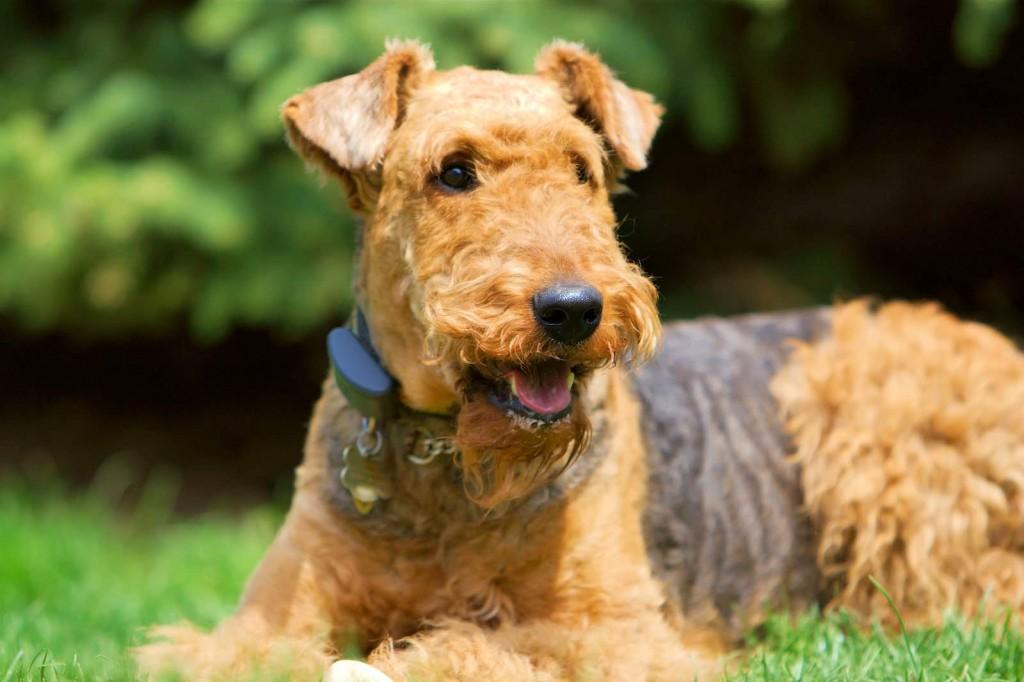 L'Airedale Terrier, roi des Terriers