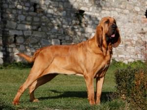 Le Saint Hubert, ou Bloodhound, un aristocrate qui a du flair