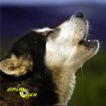 Quelles sont les races de chiens qui aboient le plus ?