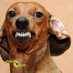 Comportement : l'influence du sexe et de la race des chiens sur leur agressivité