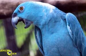 Mutations : mythe de l'oiseau bleu, Amazone à nuque jaune (Amazona auropalliata)