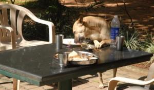 Alimentation : pourquoi les chiens digèrent-ils l'amidon ?