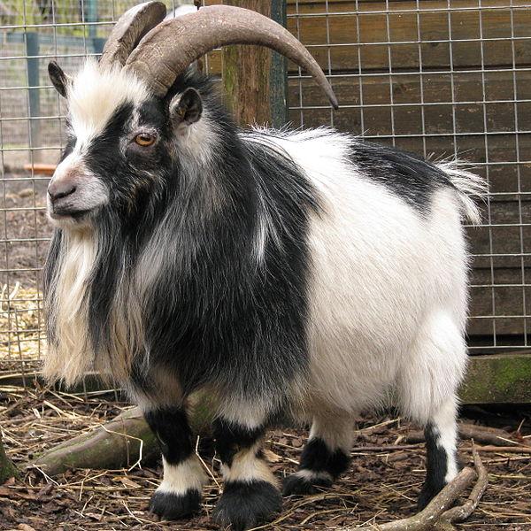 Naines, miniatures ou pygmées, les petites chèvres sont-elles un accident génétique ?