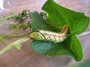 Les bases de la maintenance des papillons en captivité