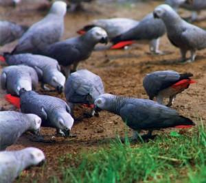 Les perroquets peuvent-ils s'entendre s'ils ne sont pas de la même espèce ?