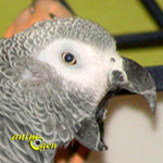 Jusqu'à quel stade peut-on considérer les cris d'un perroquet comme normaux ou acceptables ?