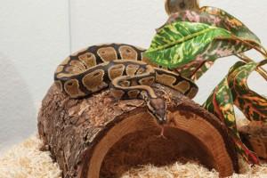 Un serpent pour un débutant : quels critères faut-il envisager ?