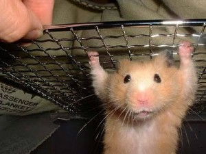 Comment retrouver un hamster qui a fugué ?