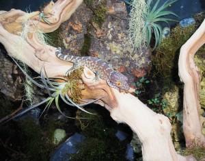 Le gecko Tokay, ou Gecko gecko, lézard chanteur d'Asie