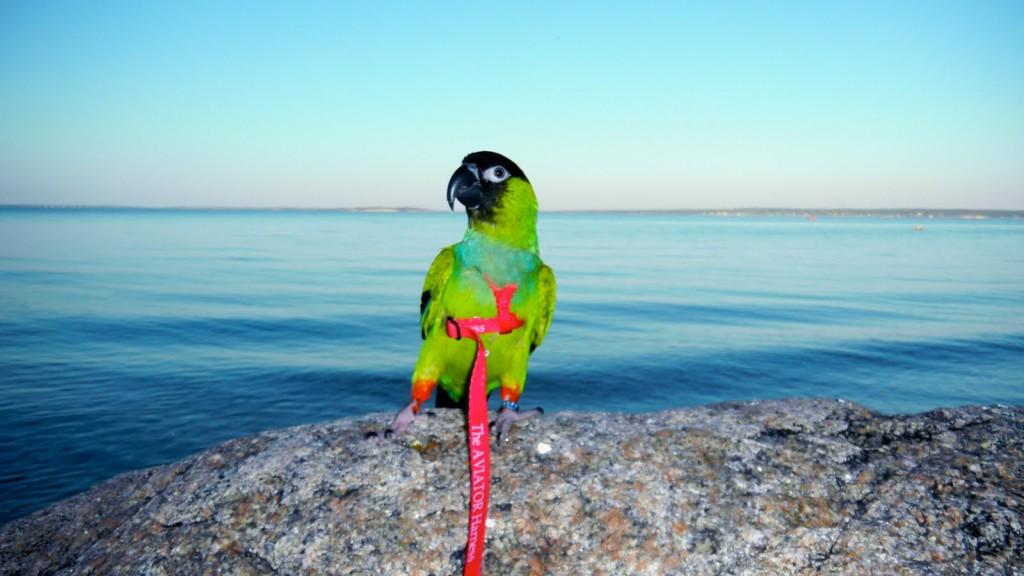 Harnais Aviator pour perroquet : comment choisir la bonne taille ?