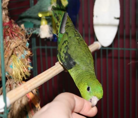 Les problèmes de comportement inhérents à l'instinct naturel des perroquets