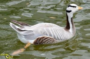 oie-tête-barrée-Anser-indicus-oiseau-basse-cour-origines-maintenance-élevage-comportement-espèce-caractère-ponte-reproduction-animaux-animal-oiseaux-compagnie-animogen-4