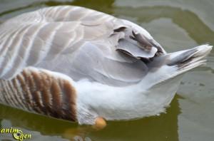 L'oie à tête barrée (Anser indicus), un Anatidé de haut vol