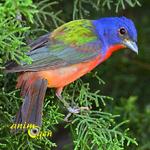 Le Pape de Louisiane, ou Passerina ciris, un oiseau haut en couleurs