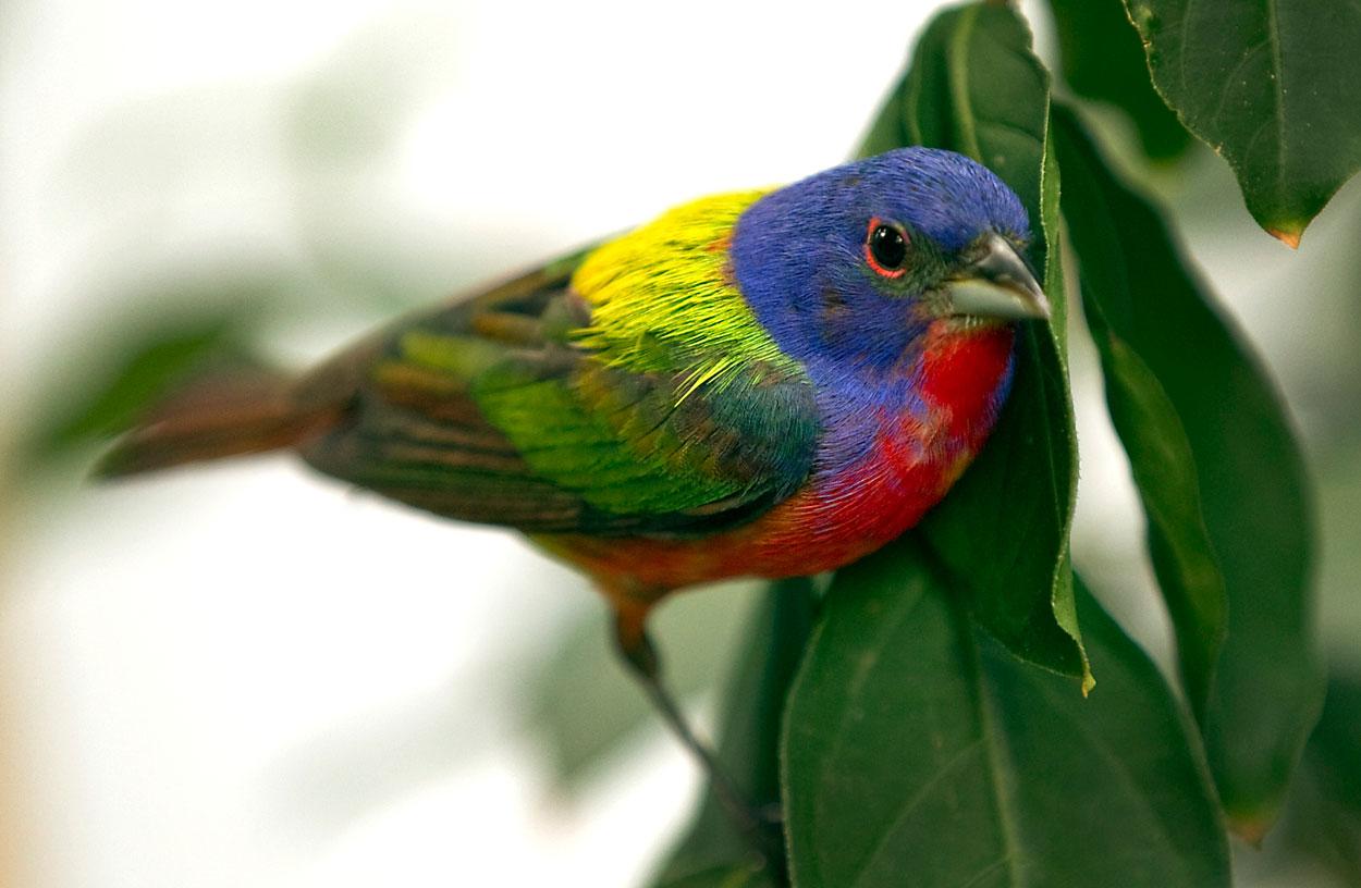 Le pape de louisiane ou passerina ciris un oiseau haut for Oiseau par la couleur