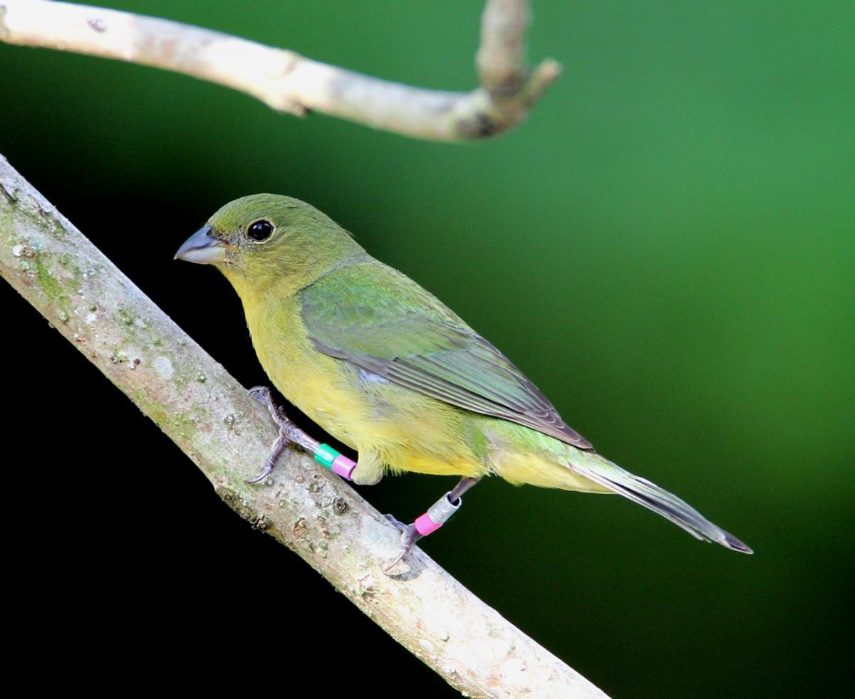 Le pape de louisiane ou passerina ciris un oiseau haut for Oiseau couleur