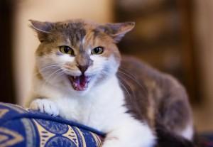 Comportement : la peur des inconnus chez les chats, 1 ère partie (causes, symptômes, solutions)